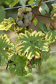 Vine (Vitis vinifera), Franche Comte grape variety, Peurion Blanc, conservatory vine, Champagne-sur-Loue, Jura France