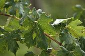 Vine (Vitis vinifera), Franche Comte grape variety, Poulsard Blanc, conservatory vine, Champagne-sur-Loue, Jura, France