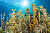 Yellow-green candle sponge (Aplysina insularis) and Sargasse (Sargassum sp) in Natural Marine Park of Martinique.