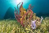 Erect Rope Sponge (Amphimedon compressa) and Yellow Tube Sponge (Aplysina fistularis) in a Halophila sea grass, Natural Marine Park of Martinique.