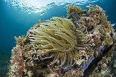 Anémone géante des Antilles (Condylactis gigantea), dans le Parc naturel marin de Martinique.