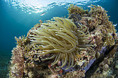 Giant Caribbean Anemone (Condylactis gigantea), in the Marine Natural Park of Martinique