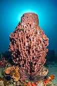 Giant Barrel Sponge (Xestospongia muta), in the Marine Natural Park of Martinique