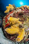 Azure Vase Sponge (Callyspongia plicifera) in Marine Natural Park of Martinique