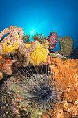 Long-spined sea urchin (Diadema antillarum) and Orange king sponge (Mycale laevis), Marine Natural Park of Martinique
