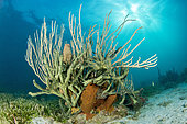 Green finger sponge (Iotrochota birotulata), on the underwater trail of Cape Salomon, in the Marine Natural Park of Martinique