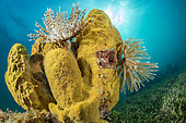 Magnificent feather duster (Sabellastarte magnifica) on Yellow Tube Sponge (Aplysina fistularis), on the underwater trail of Cape Salomon, in the Marine Natural Park of Martinique