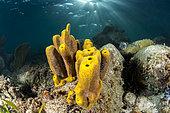 Yellow Tube Sponge (Aplysina fistularis), on the underwater trail of Cape Salomon, in the Marine Natural Park of Martinique