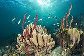 Erect Rope Sponge (Amphimedon compressa), on the underwater trail of Cape Salomon, in the Marine Natural Park of Martinique