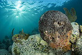 Sponge (Ircinia sp), on the underwater trail of Cape Salomon, in the Marine Natural Park of Martinique