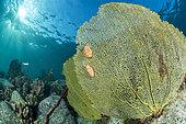 Monnaies Caraïbes à ocelles (Cyphoma gibbosum), sur une gorgone éventail de Vénus (Gorgonia flabellum), sur le sentier sous-marin du Cap Salomon, dans le Parc naturel marin de Martinique
