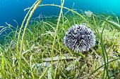 White sea urchin (Tripneustes ventricosus), in a mixed seagrass with Tape-grass (Halophila sp), Manatee grass (Syringodium filiforme) and Turtle grass (Thalassia testudinum). Natural Marine Park of Martinique.