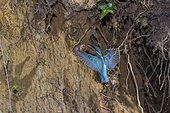 Common Kingfisher (Alcedo atthis) coming to feed his young in his nest dug in the clay bank of a small river of Bugey, Ain, France