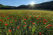 Poppies (Papaver rhoeas) in full bloom, Bugey, Ain, France