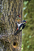 Spotted Woodpecker (Dendrocopos major), Feeding chicks still in their lodge, Bugey, Ain, France