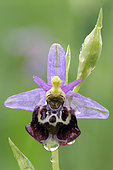 Late Spider orchid (Ophrys fuciflora) Common orchid in sunny pastures, France