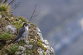Peregrine Falcon (Falco peregrinus) guarding its territory, in Bugey, Ain, France