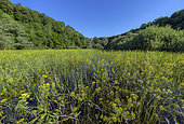 Pond covered with Great yellowcress (Rorippa amphibia in bloom), Etang de Bret, Bugey, Ain, France