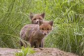 Renard roux (Vulpes vulpes) Renardeaux âgés de quelques semaines devant leur terrier. Haute-Savoie, France
