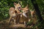 Renard roux (Vulpes vulpes), Renardeaux âgés de quelques semaines jouant devant leur terrier, Haute-Savoie, France