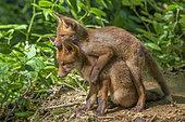 Renard roux (Vulpes vulpes) Renardeaux âgés de quelques semaines jouant devant leur terrier. Haute-Savoie, France