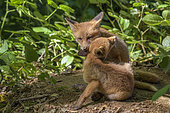 Red Fox (Vulpes vulpes), Fox cubs a few weeks old playing in front of their burrow, Haute-Savoie, France