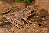 Sculpted Madagascar frog (Gephyromantis sculpturatus), on dead leaf, Andasibe, Madagascar