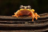 Madagascar Reed Frog (Heterixalus madagascariensis) transforming to its nocturnal colours, Andasibe, Madagascar