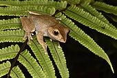 Madagascar Bright-eyed Frog (Boophis madagascariensis) on fern, Andasibe, Madagascar