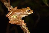 White-lipped Bright-eyed Frog (Boophis albilabris Synonyme Rhacophorus albilabris) juvenile on black background, Andasibe, Madagascar