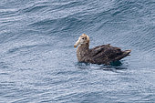 Northern Giant Petrel (Macronectes halli), immature swimming at the sea, Western Cape, South Africa