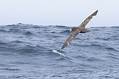 Northern Giant Petrel (Macronectes halli), individual in flight over the sea, Western Cape, South Africa