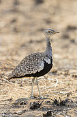 Red-crested Korhaan (Lophotis rufictrista), side view of an adult male standing on the ground, Mpumalanga, South Africa