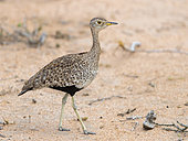 Red-crested Korhaan (Lophotis rufictrista), side view of an adult female standing on the ground, Mpumalanga, South Africa