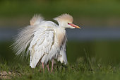 Cattle Egret (Bubulcus ibis), adult in full breeding plumage shaking its feathers, Campania, Italy