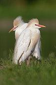 Héron garde-boeufs (Bubulcus ibis) adulte en plumage nuptial au sol, Campanie, Italie