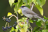 Blackcap (Sylvia atricapilla), side view of an adult male perched on a Common Ivy with berries, Campania, Italy