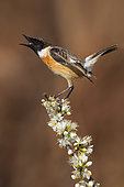 European Stonechat (Saxicola rubicola), adult male displaying on a Blackthorn branch, Campania, Italy
