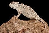 Namaqua chameleon (Chamaeleo namaquensis) on black background