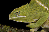 Two-banded chameleon (Furcifer balteatus) female black background