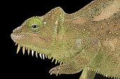Southern four-horned chameleon (Trioceros quadricornis quadricornis)