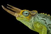 Dwarf Jackson's chameleon (Trioceros jacksonii merumontanus) male on black background