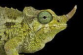 Dwarf Jackson's chameleon (Trioceros jacksonii merumontanus) female on black background