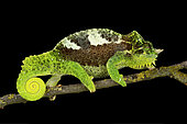 Southern four-horned chameleon (Trioceros quadricornis quadricornis) on black background