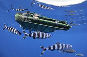 Pilot fish (Naucrates ductor) under a drifting plastic lid. Tenerife, Canary Islands.