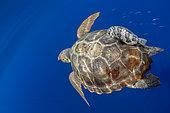 Loggerhead sea turtle (Caretta caretta).Tenerife, Canary Islands.