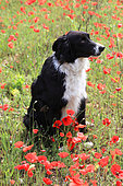 Border collie sitting in a field of poppies in bloom