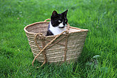 Black and white kitten sitting in a basket