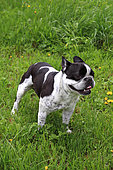 French Bulldog in a meadow