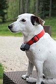 Jack Russell Terrier wearing an anti-fugue collar